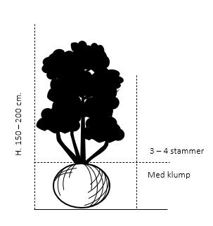 Flerstammet 3-4 stammer,- 150-200 cm. med klump