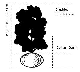 Solitær busk 100-125 cm. høj,- 60-100 cm. bred.