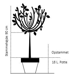 Opstammet 90 cm. 18 liter potte