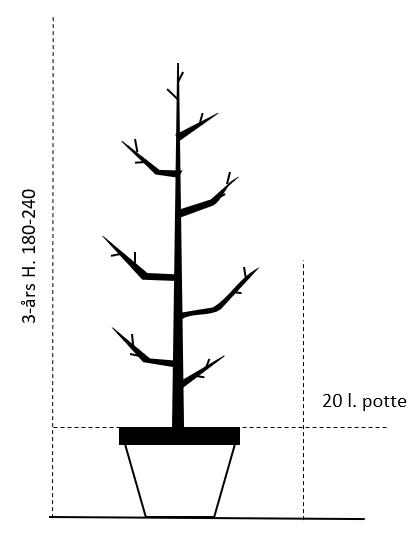 3års,- 20 L. potte 180-240 cm.