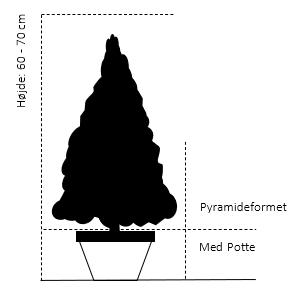 Pyramideformet med potte 60-70 cm.