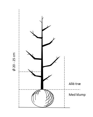 Alletræ, Stammeomkreds 20-25 cm. med klump