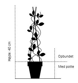Opbundet til ca. 40 cm., med potte