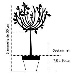Opstammet 50 cm. 7,5 liter potte