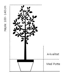 Potte, A-kvalitet 100-140 cm.