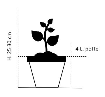 25-30cm, Potte 4 liter